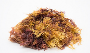 real wildcrafted sea moss